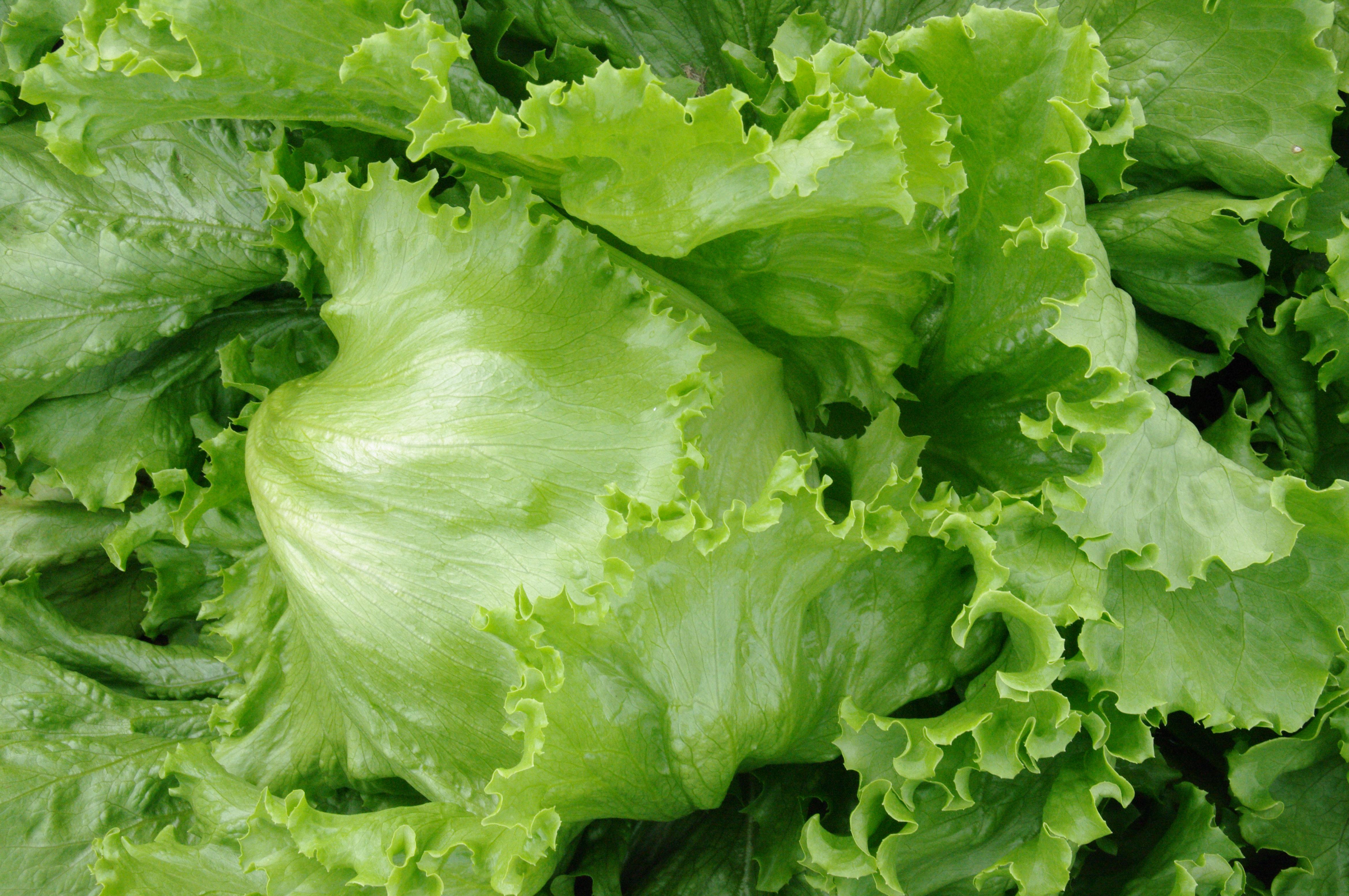 ビタミンEが入っている葉菜類のレタスの賞味期限と保存方法ご紹介のサムネイル画像