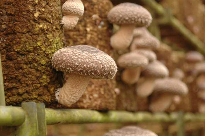 低カロリーで栄養満点!お料理に使いやすい椎茸をおいしく保存しようのサムネイル画像