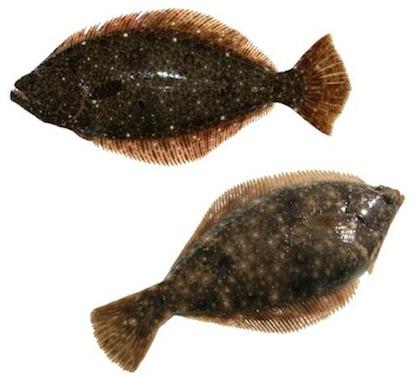 知らなかった!カレイとヒラメの違いについて。豆知識&簡単レシピのサムネイル画像