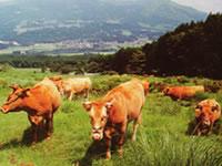 がんばれ熊本!おいしい熊本の赤牛の魅力を調べてみました。のサムネイル画像