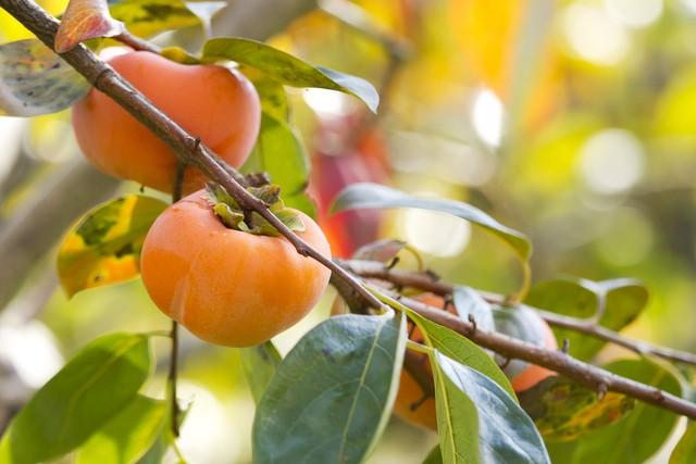 甘柿、渋柿、珍しい柿☆人気の柿の特徴と美味しい柿の種類まとめのサムネイル画像