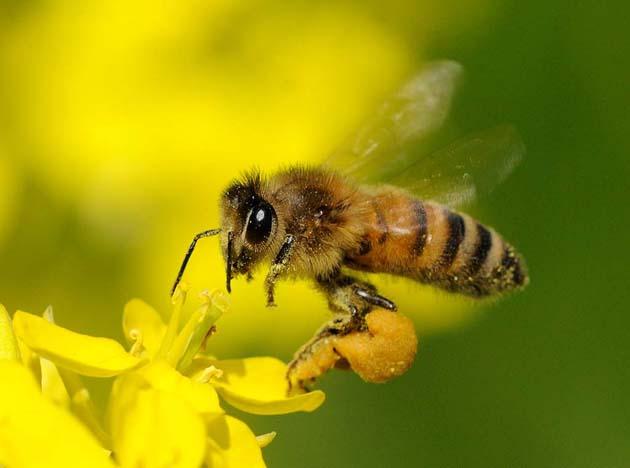 ミツバチからのプレゼント?プロポリスの健康効果がすごい!!のサムネイル画像