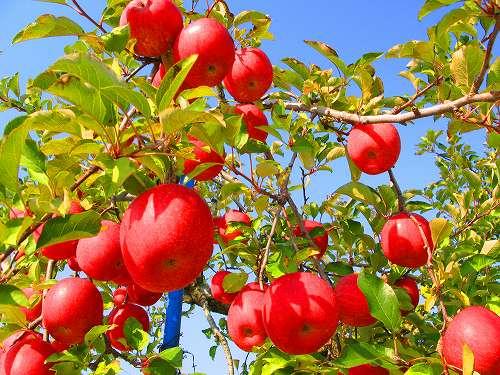 栄養豊富のりんご!エチレンガスの影響で保存方法が変わります!のサムネイル画像