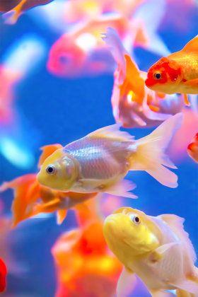 たまには童心に返ってみましょう。幼心をくすぐる金魚の種類まとめ。のサムネイル画像