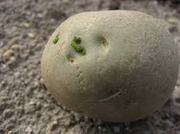 これってまだ食べられる・・・・?芽が出たじゃがいも!賞味期限は?のサムネイル画像