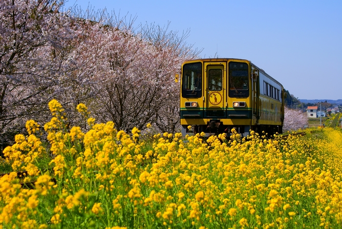 春を告げる野菜!「菜の花」のおいしいゆで方をご紹介します!のサムネイル画像