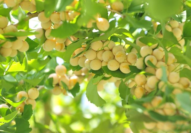 銀杏(いちょう・ぎんなん)この木に生る実を食べるなら中毒にご用心のサムネイル画像