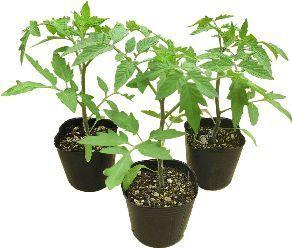 ガーデニング初心者にオススメしたい!手軽に栽培できる野菜の苗♪のサムネイル画像