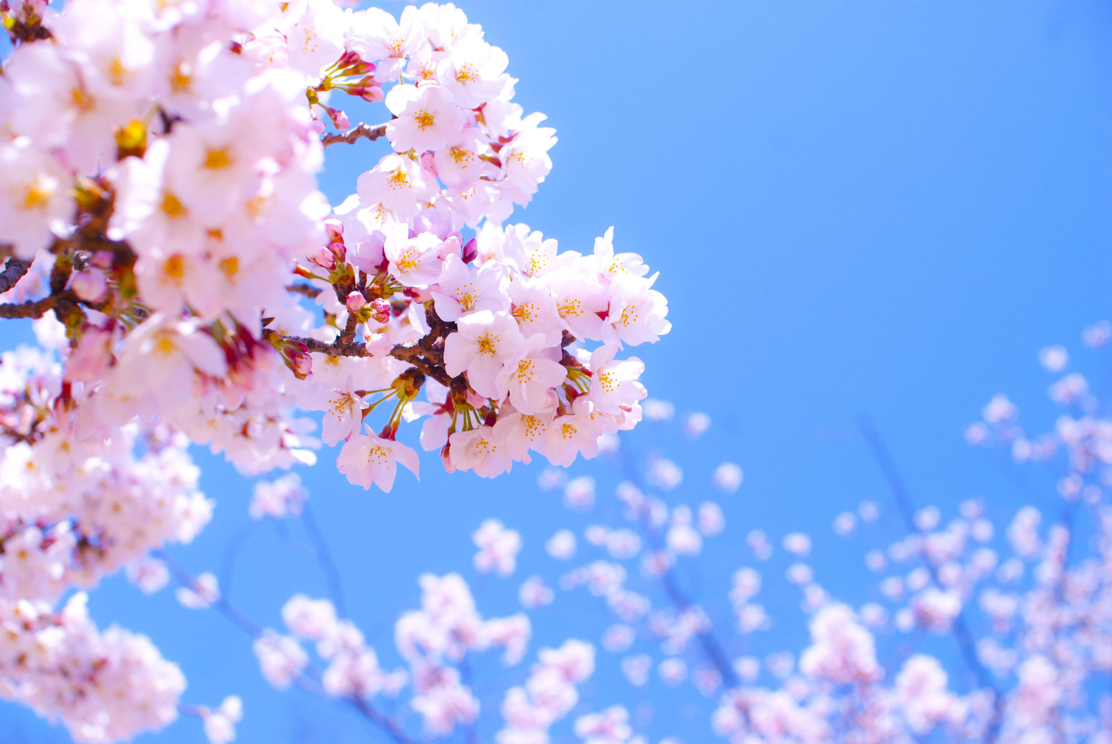 日本の春の風物詩!咲き誇る美しき桜はこんなにも種類があった!のサムネイル画像