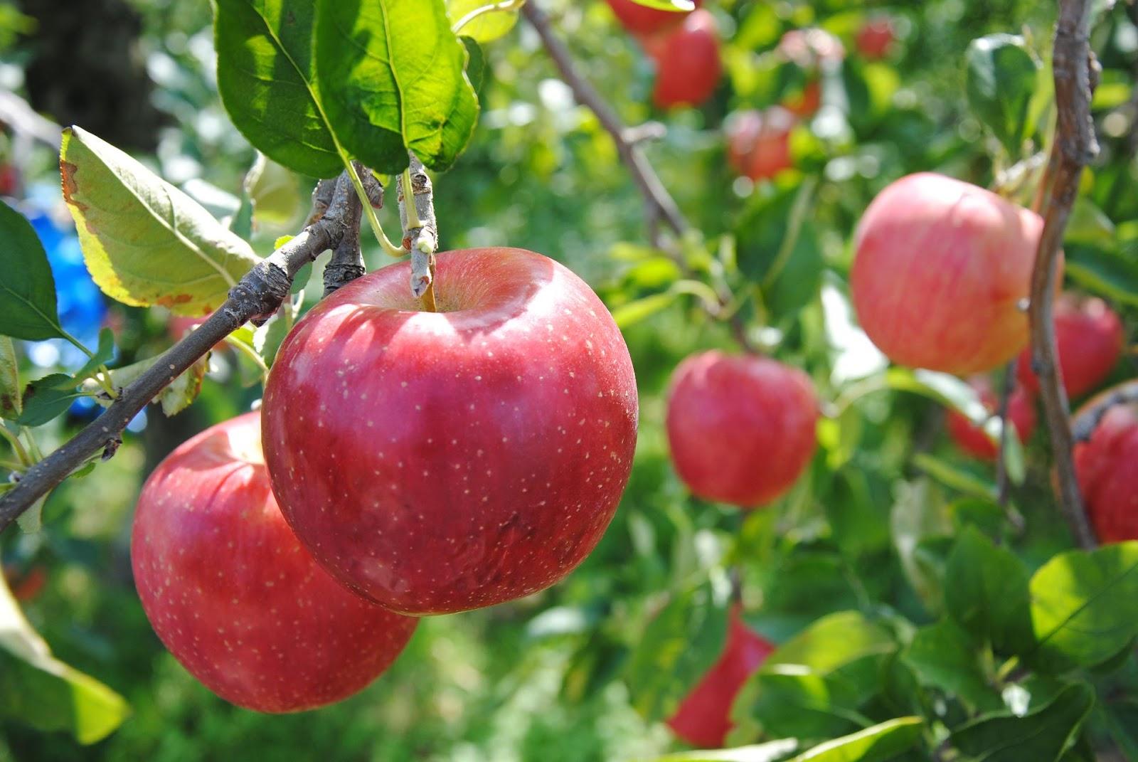 がんを予防!?すごい効果があるりんごの栄養素をご紹介しますのサムネイル画像