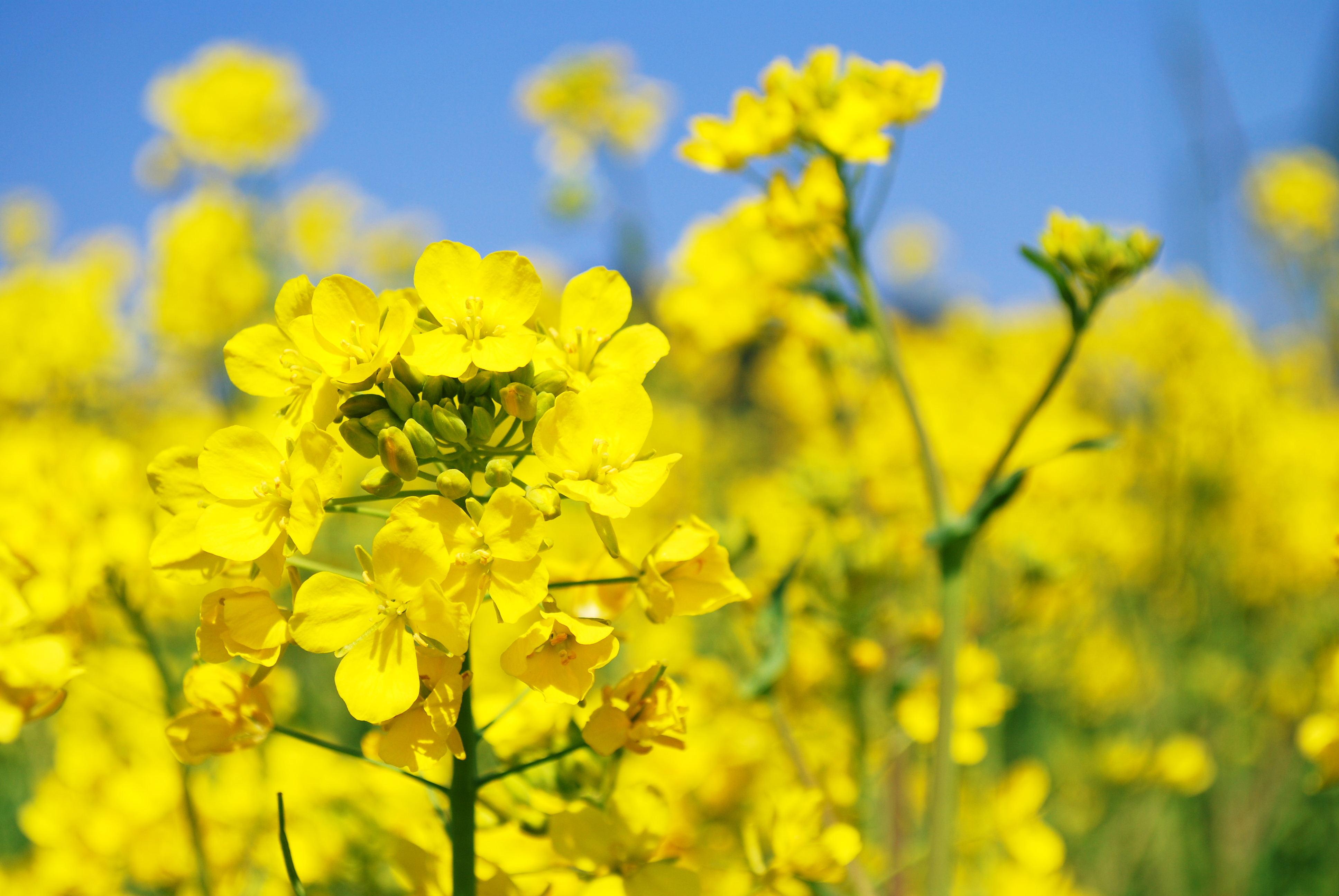 春に咲く黄色のかわいいお花!菜の花には栄養がギュッと詰まってる!のサムネイル画像
