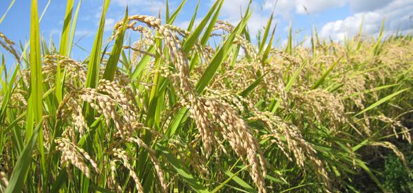 玄米と白米の違いってなんだろう?お米のメカニズム徹底解剖のサムネイル画像