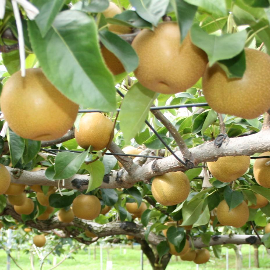 おいしい梨がいっぱい!梨の種類や特徴を大特集しちゃいます!のサムネイル画像