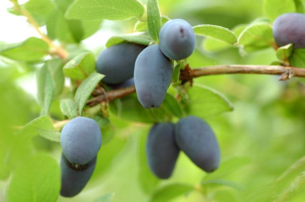 ハスカップってどんな味?北海道の幻の果実「ハスカップ」をご紹介!のサムネイル画像